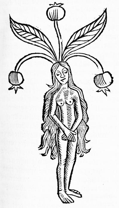 Mandragore Le jardin de sante Edition Paris Philippe Le Noir 1539 source Gallica